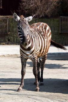 Free Zebra Stock Images - 36318984