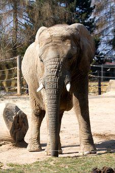 Free Elephant In Zoo Royalty Free Stock Photos - 36318998