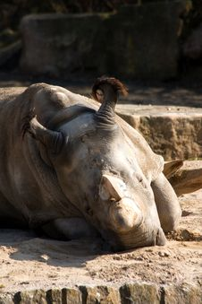 Free Rhinoceros In The Zoo Stock Photography - 36319192