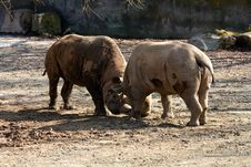 Free Two Rhinos Stock Photography - 36319222