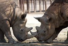 Free Two Rhinos Royalty Free Stock Images - 36319259