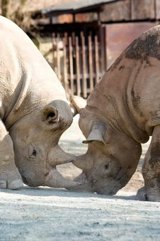 Free Two Rhinos Stock Photography - 36319272