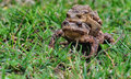 Free Mating Toads Stock Photo - 36320350
