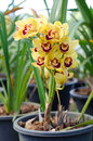 Free Cymbidium Orchid Royalty Free Stock Images - 36323219