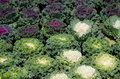 Free Ornamental Leaved Kale Royalty Free Stock Photography - 36323227