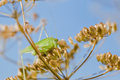 Free Grasshopper Royalty Free Stock Images - 36325759