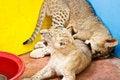 Free Little Lion Cub Stock Photos - 36326963