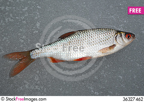 Free Roach Lying On The Ice, This Winter Fishing Stock Photography - 36327462