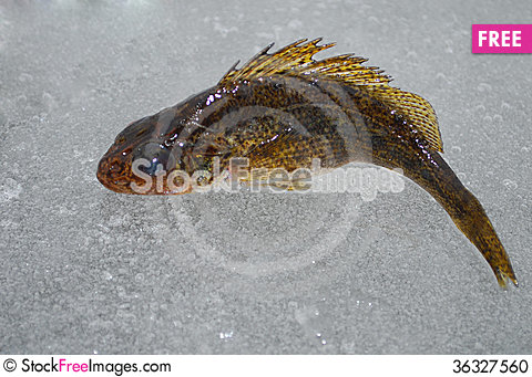 Free Fish Ruff Stock Photo - 36327560