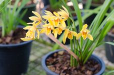 Free Cymbidium Orchid Stock Photos - 36323213