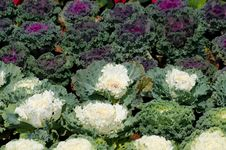 Ornamental Leaved Kale Stock Images
