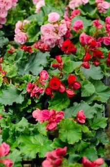Free Begonia Flower Stock Image - 36323251