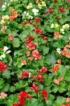 Free Begonia Flower Stock Image - 36323261