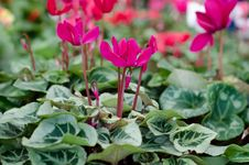 Free Cyclamen Stock Photography - 36323272