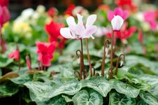 Free Cyclamen Royalty Free Stock Photos - 36323278