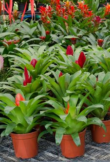 Free Bromeliad Flowers Stock Image - 36323301