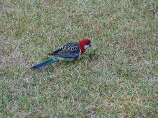 Free Australian Crimson Rosella Stock Photo - 36326450