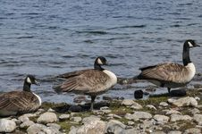 Free Canadian Geese Stock Image - 36326841