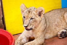 Little Lion Cub Stock Photo