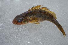 Free Fish Ruff Stock Photo - 36327560