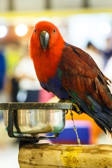 Free Red Parrot Royalty Free Stock Photos - 36329638