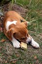 Free Puppy Chewing A Stick Royalty Free Stock Photos - 36339638
