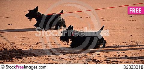 Free Scottish Terriers Royalty Free Stock Photos - 36333018