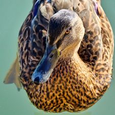 Free Mallard Making Eye Contact Stock Images - 36330594