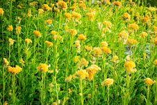 Free Yellow Flower Royalty Free Stock Image - 36331906