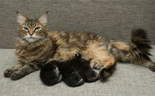 Free Cat Milk Feeding Her Kittens Royalty Free Stock Photography - 36332827
