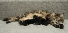 Free Cat Mother Feeds Her Kittens Milk Stock Image - 36332891