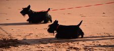 Scottish Terriers Royalty Free Stock Photos