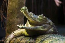 Free Gharial Royalty Free Stock Photos - 36333118