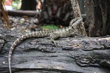 Free Lizard On Log Royalty Free Stock Photo - 36338585