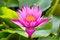 Free Pink Lotus Flower Royalty Free Stock Photos - 36332438