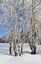 Free Birches In Winter Stock Photo - 36343860