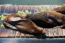 Free Sea Lions Basking In The Sun Royalty Free Stock Image - 36341756