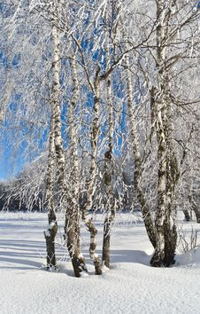 Free Birches In Winter Stock Photo - 36343860