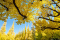 Free The Yellow Ginkgo Trees Against Blue Sky Stock Photo - 36355500