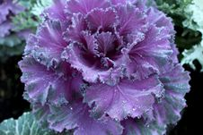 Free Flowering Cabbage Royalty Free Stock Photography - 36355047