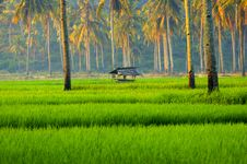 Free Rice Fields Of Java Stock Photography - 36358422