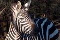 Free Zebra Royalty Free Stock Photos - 36362978