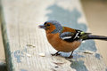 Free Sparrow Bird Stock Photos - 36364333
