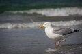 Free White Bird Seagull Royalty Free Stock Images - 36369469