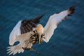 Free Northern Gannet Royalty Free Stock Photos - 36369618