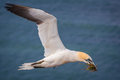 Free Northern Gannet Royalty Free Stock Photo - 36369685