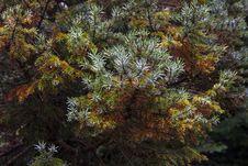 Free Coniferous Juniper Bushes Royalty Free Stock Images - 36363969