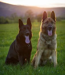 Free Two German Shepherds Royalty Free Stock Photo - 36369425