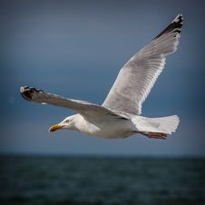 Free White Bird Seagull Royalty Free Stock Photography - 36369497