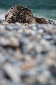 Grey Seal &x28;halichoerus Grypus&x29; Royalty Free Stock Photos